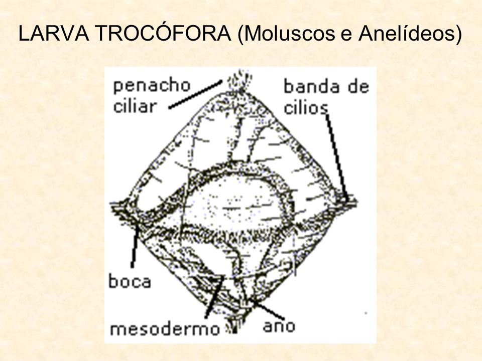 LARVA TROCÓFORA (Moluscos e Anelídeos)