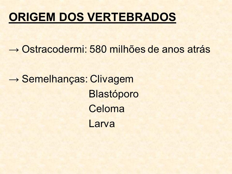 ORIGEM DOS VERTEBRADOS Ostracodermi: 580 milhões de anos atrás Semelhanças: Clivagem Blastóporo Celoma Larva