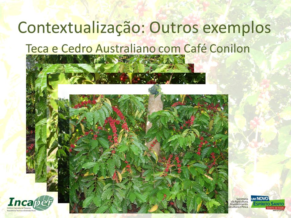 Contextualização: Arcabouço científico: Atualmente, pouco se conhece sobre o comportamento dos clones de café conilon, que ao longo dos anos foram selecionados em cultivo a pleno sol, quando cultivados em condições de sombreamento.