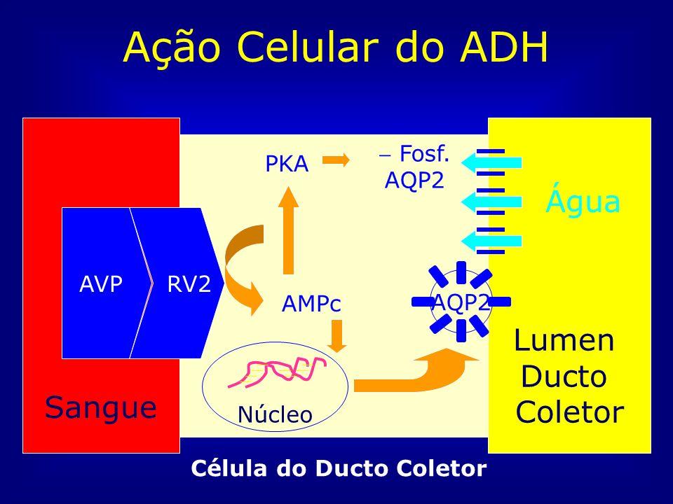 Ação Celular do ADH Sangue Lumen Ducto Coletor RV2AVP Célula do Ducto Coletor Núcleo AMPc PKA Fosf. AQP2 AQP2 Água