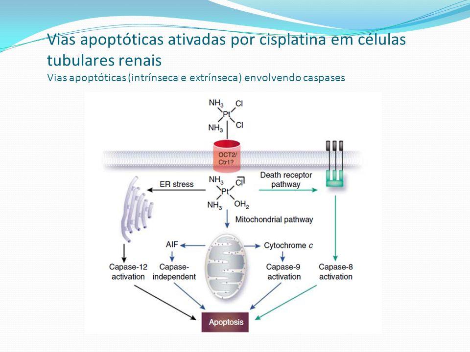 Tubulotoxicidade da cisplatina segmento S³ preferencial evidências Falta ou perda de expressão de megalina Queda da expressão de AQP-1 (canal de água de membranas apical e BL de células TP) Megalina: receptor densamente expressado em membrana apical CTP Removedor de proteínas filtradas (endocitose) Excreção urinária de proteínas : albumina / β2m/ NAG (N-acetil-β-glucosaminidase)