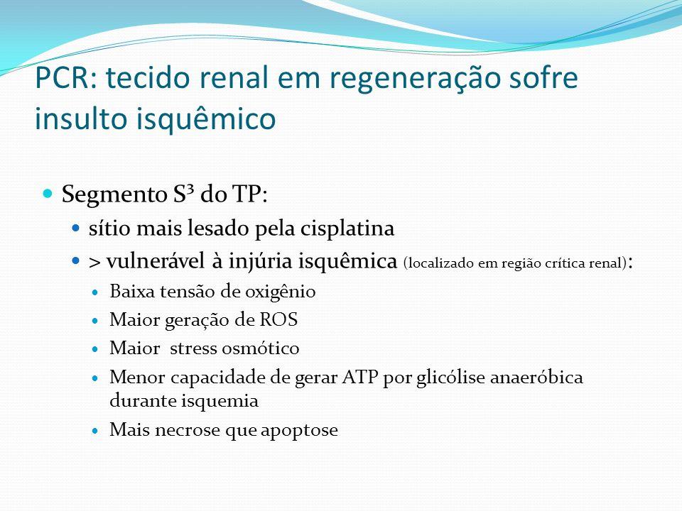PCR: tecido renal em regeneração sofre insulto isquêmico Segmento S³ do TP: sítio mais lesado pela cisplatina > vulnerável à injúria isquêmica (localizado em região crítica renal) : Baixa tensão de oxigênio Maior geração de ROS Maior stress osmótico Menor capacidade de gerar ATP por glicólise anaeróbica durante isquemia Mais necrose que apoptose