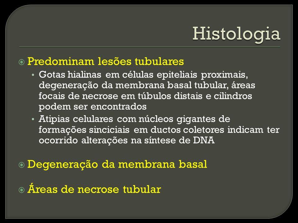 Predominam lesões tubulares Gotas hialinas em células epiteliais proximais, degeneração da membrana basal tubular, áreas focais de necrose em túbulos distais e cilindros podem ser encontrados Atipias celulares com núcleos gigantes de formações sinciciais em ductos coletores indicam ter ocorrido alterações na síntese de DNA Degeneração da membrana basal Áreas de necrose tubular