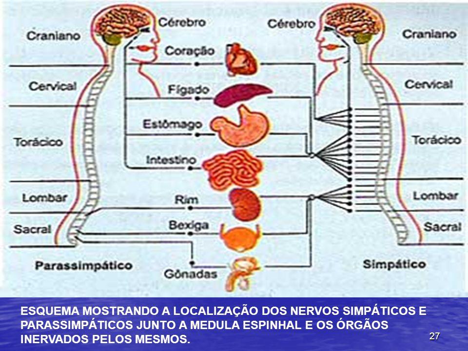27 ESQUEMA MOSTRANDO A LOCALIZAÇÃO DOS NERVOS SIMPÁTICOS E PARASSIMPÁTICOS JUNTO A MEDULA ESPINHAL E OS ÓRGÃOS INERVADOS PELOS MESMOS.