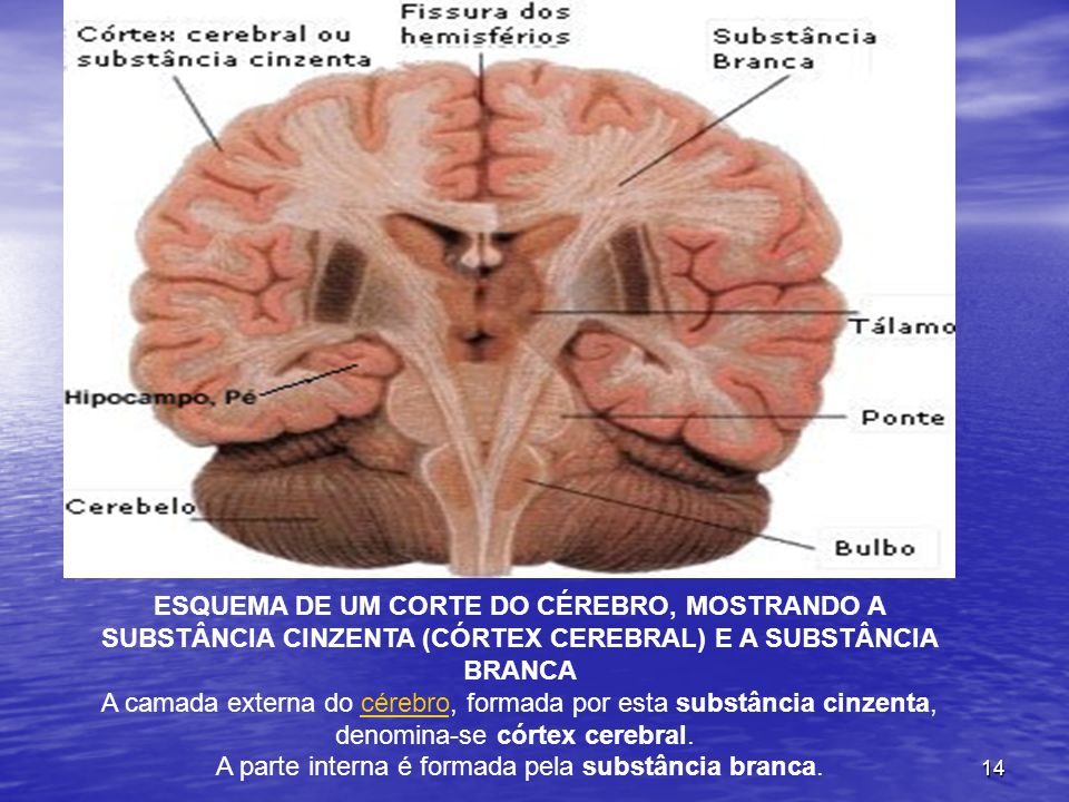 14 ESQUEMA DE UM CORTE DO CÉREBRO, MOSTRANDO A SUBSTÂNCIA CINZENTA (CÓRTEX CEREBRAL) E A SUBSTÂNCIA BRANCA A camada externa do cérebro, formada por es
