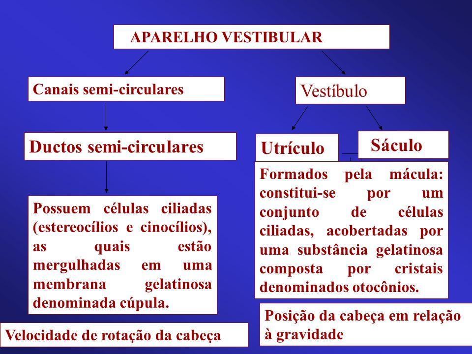 APARELHO VESTIBULAR Canais semi-circulares Vestíbulo Utrículo Sáculo Formados pela mácula: constitui-se por um conjunto de células ciliadas, acobertad