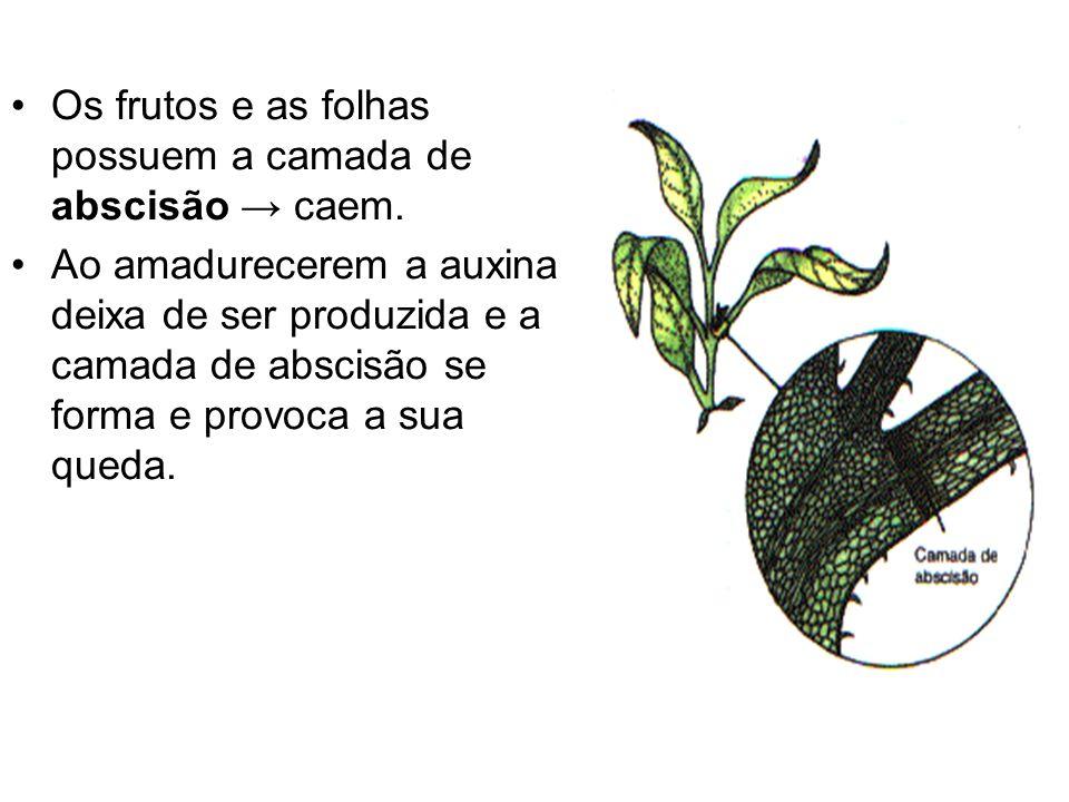 Os frutos e as folhas possuem a camada de abscisão caem. Ao amadurecerem a auxina deixa de ser produzida e a camada de abscisão se forma e provoca a s