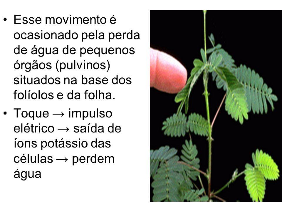 Esse movimento é ocasionado pela perda de água de pequenos órgãos (pulvinos) situados na base dos folíolos e da folha. Toque impulso elétrico saída de