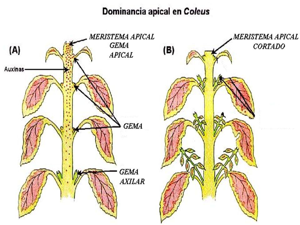 GIBERELINAS Produzida no meristema apical das folhas jovens, raízes e embrião Atua sozinha ou em conjunto Seus principais efeitos são: - Acentuada elongação (distensão celular) de caules e ramos, principalmente de plantas anãs.