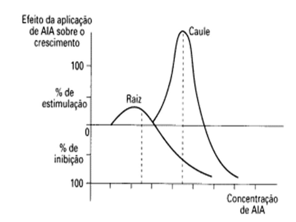 Planta (alpiste) recebeu luz lateral A coleóptile curva em direção da luz.
