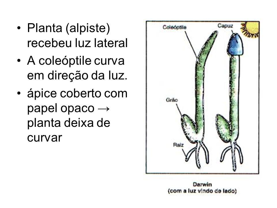 Planta (alpiste) recebeu luz lateral A coleóptile curva em direção da luz. ápice coberto com papel opaco planta deixa de curvar