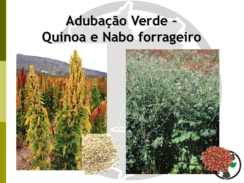 Adubação Verde – Quinoa e Nabo forrageiro