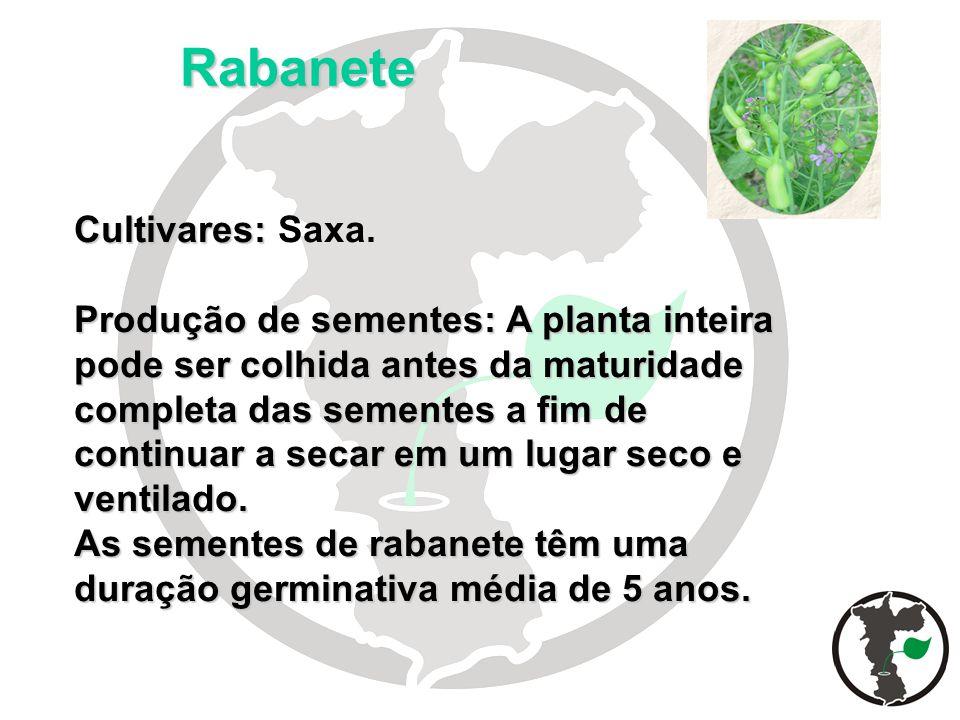 Rabanete Cultivares: Cultivares: Saxa. Produção de sementes: A planta inteira pode ser colhida antes da maturidade completa das sementes a fim de cont