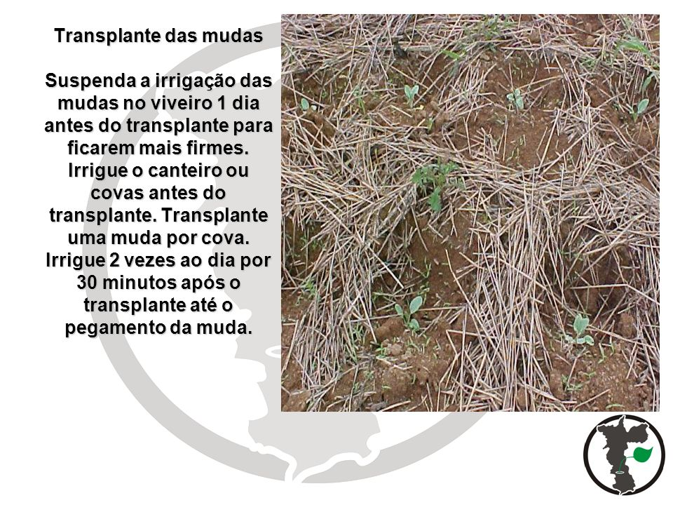 Transplante das mudas Suspenda a irrigação das mudas no viveiro 1 dia antes do transplante para ficarem mais firmes. Irrigue o canteiro ou covas antes
