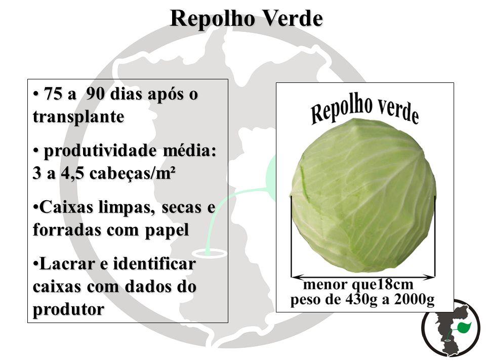 Repolho Verde Repolho Verde 75 a 90 dias após o transplante 75 a 90 dias após o transplante produtividade média: 3 a 4,5 cabeças/m² produtividade médi