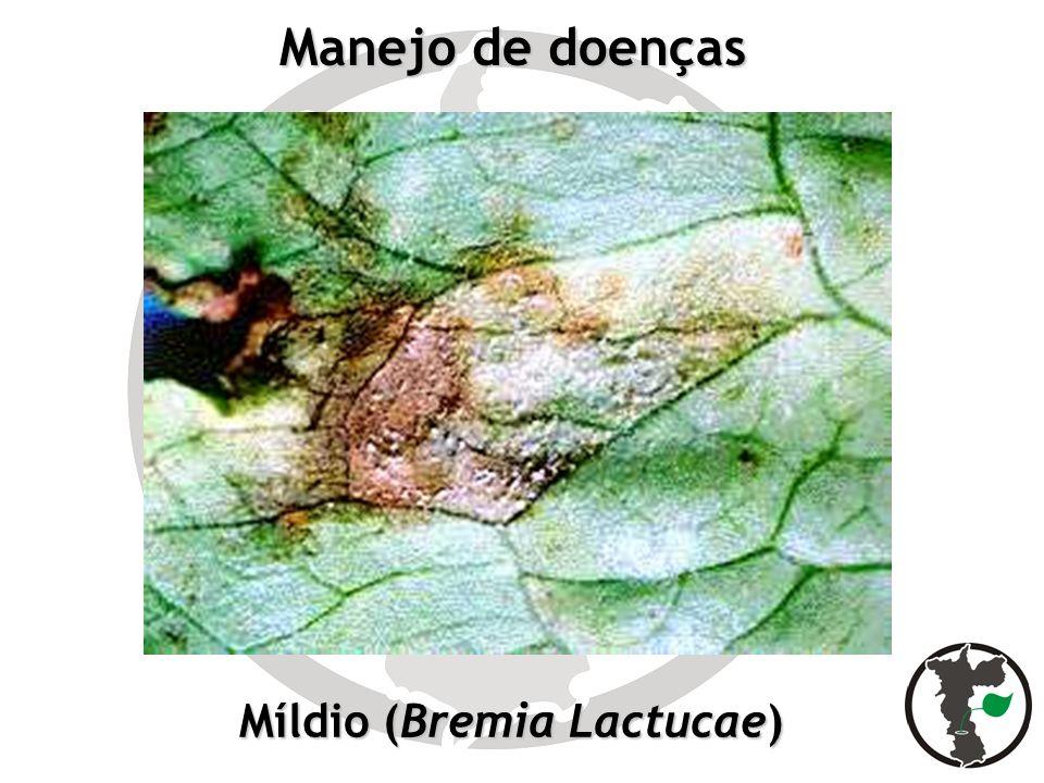 Manejo de doenças Míldio (Bremia Lactucae)