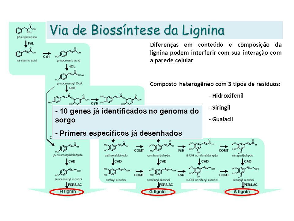 Via de Biossíntese da Lignina Diferenças em conteúdo e composição da lignina podem interferir com sua interação com a parede celular Composto heterogê