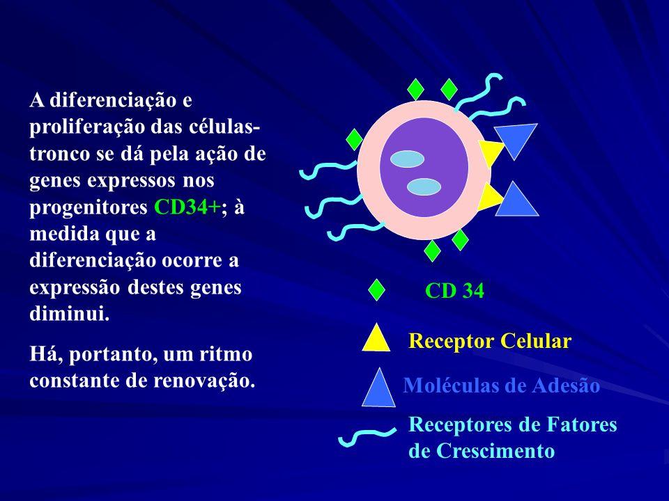 CD 34 Receptor Celular Moléculas de Adesão Receptores de Fatores de Crescimento A diferenciação e proliferação das células- tronco se dá pela ação de