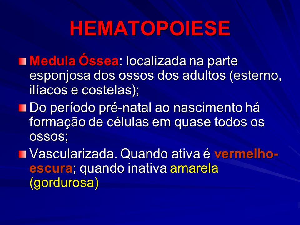 HEMATOPOIESE Medula Óssea: localizada na parte esponjosa dos ossos dos adultos (esterno, ilíacos e costelas); Do período pré-natal ao nascimento há fo