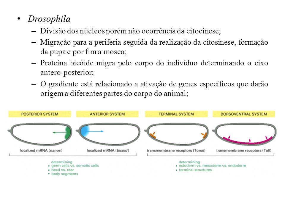 Drosophila – Divisão dos núcleos porém não ocorrência da citocinese; – Migração para a periferia seguida da realização da citosinese, formação da pupa