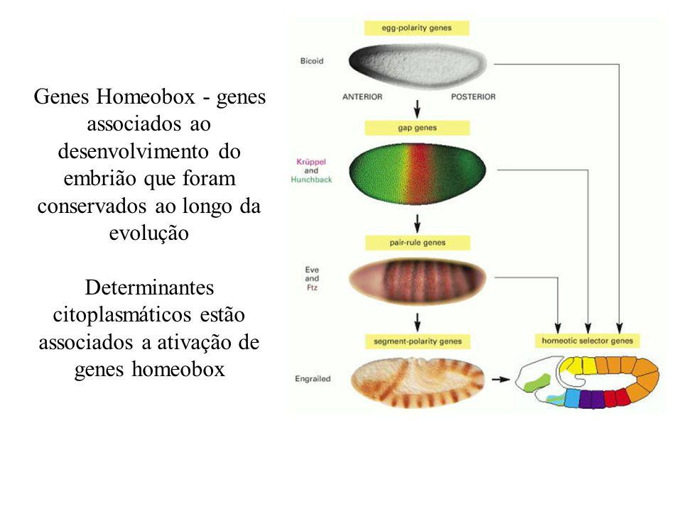 Genes Homeobox - genes associados ao desenvolvimento do embrião que foram conservados ao longo da evolução Determinantes citoplasmáticos estão associa