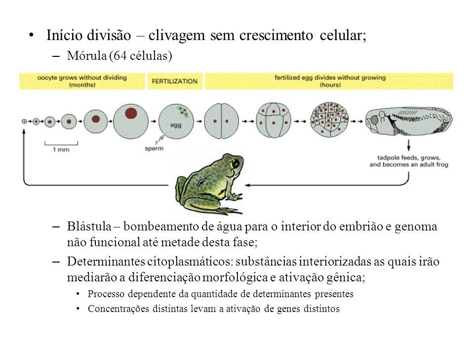 Início divisão – clivagem sem crescimento celular; – Mórula (64 células) – Blástula – bombeamento de água para o interior do embrião e genoma não func