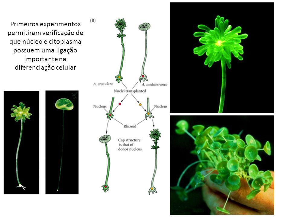 Primeiros experimentos permitiram verificação de que núcleo e citoplasma possuem uma ligação importante na diferenciação celular