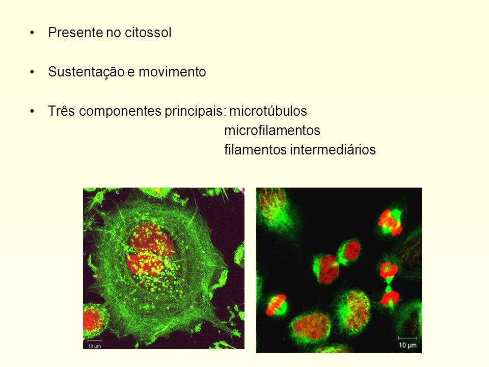Microtúbulos Heterodímeros: subunidades de alfa e beta tubulina ligadas, formando um tubo Equilíbrio dinâmico entre tubulina polimerizada e livre, porém existem mt muito estáveis Ponta +: polimeriza/despolimeriza rapidamente, o contrário ocorre com a ponta -