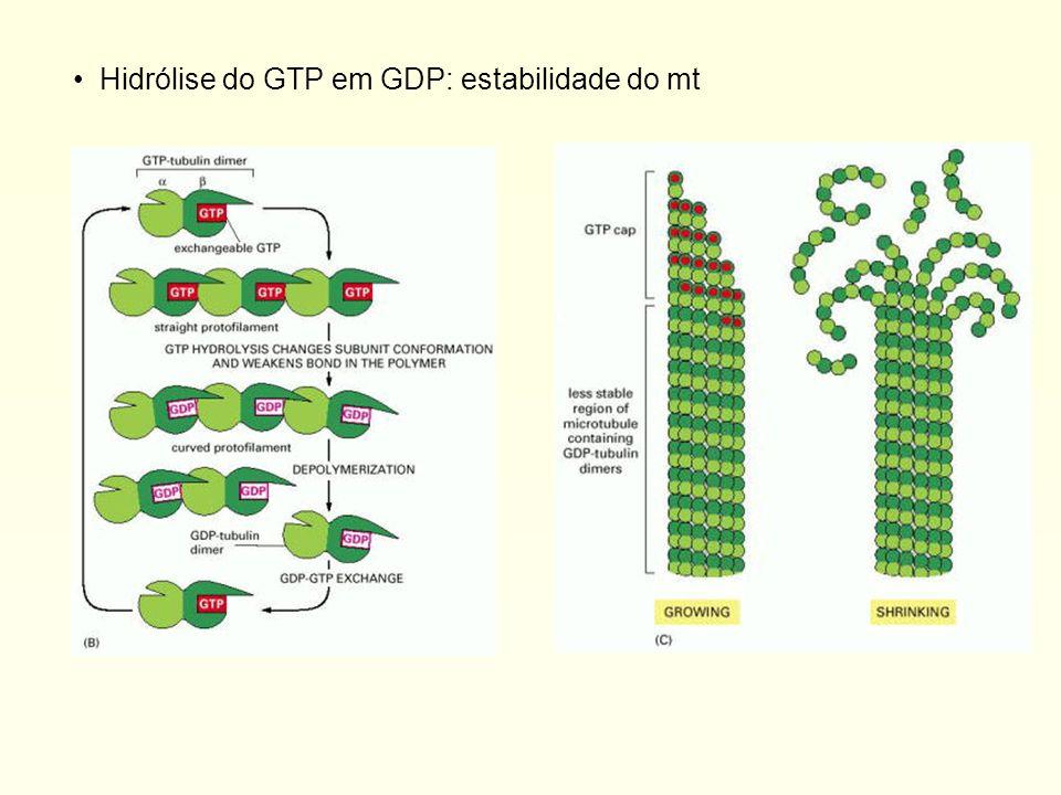 Relacionados ao tráfego de vesículas, posicionamento de organelas, forma e formação do fuso mitótico durante a divisão celular Remodelamento drástico