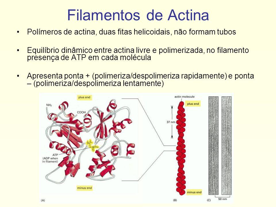 Filamentos localizados por toda célula, em alta concentração próximo a membrana plasmática Relacionados a movimento da célula (migração celular) Diversas proteínas interagem com filamentos de actina Proteína motora principal: miosina