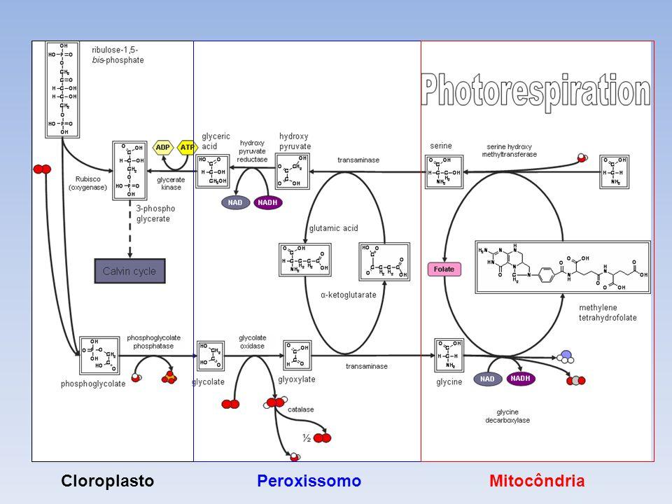 Células Vegetais – Fotorrespiração RUBISCO – ação oxidase Processo evita a perda de carbonos Envolve mitocôndrias, peroxissomos e cloroplastos Cloropl