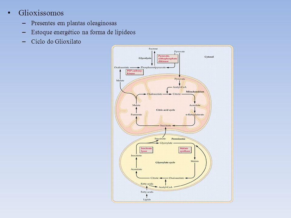 Glioxissomos – Presentes em plantas oleaginosas – Estoque energético na forma de lipideos – Ciclo do Glioxilato