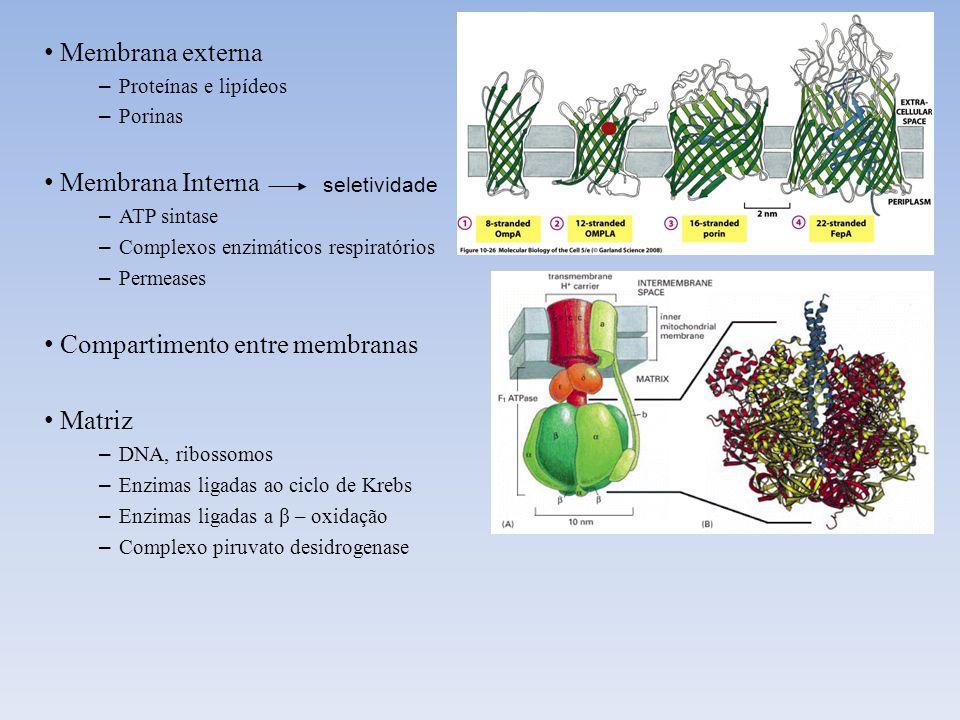 Membrana externa – Proteínas e lipídeos – Porinas Membrana Interna – ATP sintase – Complexos enzimáticos respiratórios – Permeases Compartimento entre
