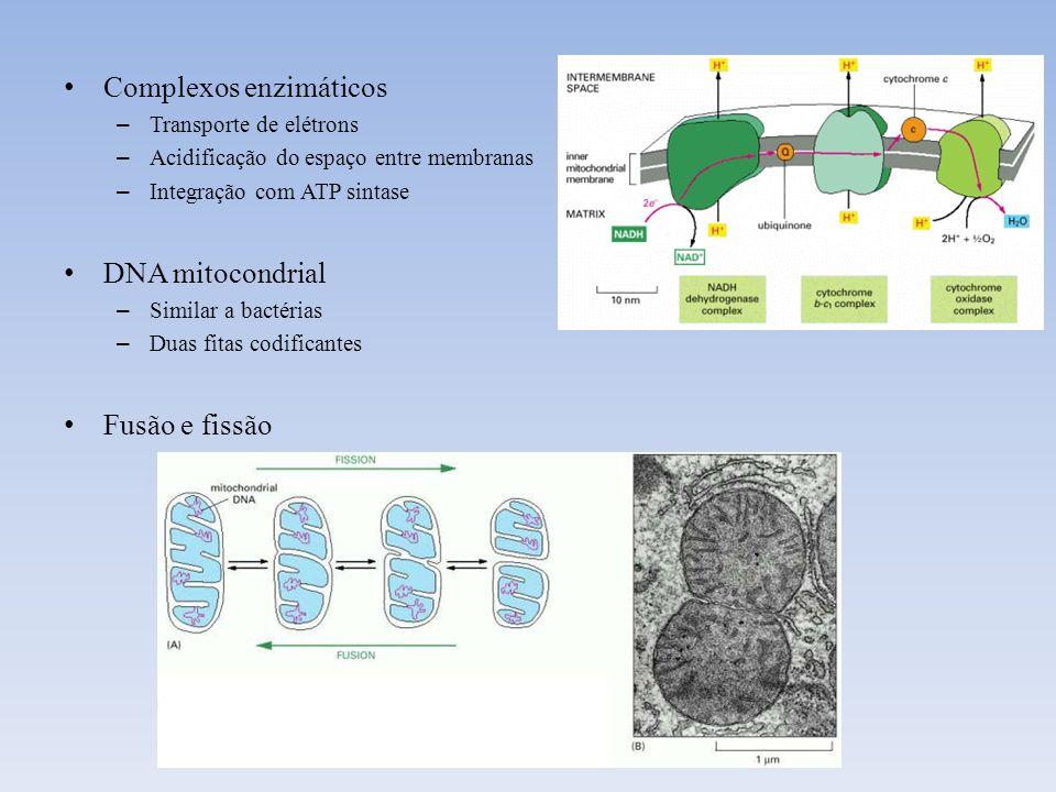 Complexos enzimáticos – Transporte de elétrons – Acidificação do espaço entre membranas – Integração com ATP sintase DNA mitocondrial – Similar a bact