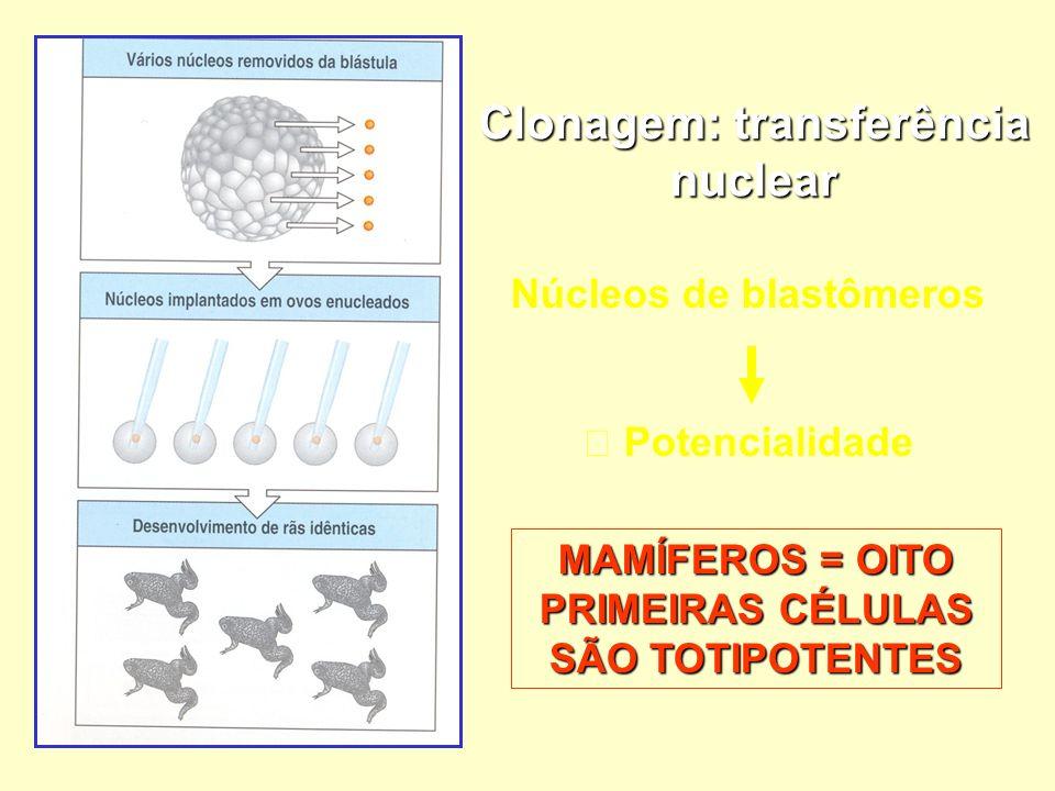 Clonagem: transferência nuclear Núcleos de blastômeros Potencialidade MAMÍFEROS = OITO PRIMEIRAS CÉLULAS SÃO TOTIPOTENTES