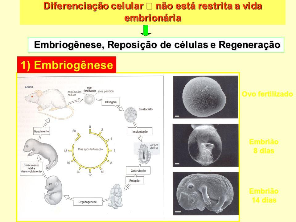 Diferenciação celular não está restrita a vida embrionária Ovo fertilizado Embrião 8 dias Embrião 14 dias 1) Embriogênese Embriogênese, Reposição de c