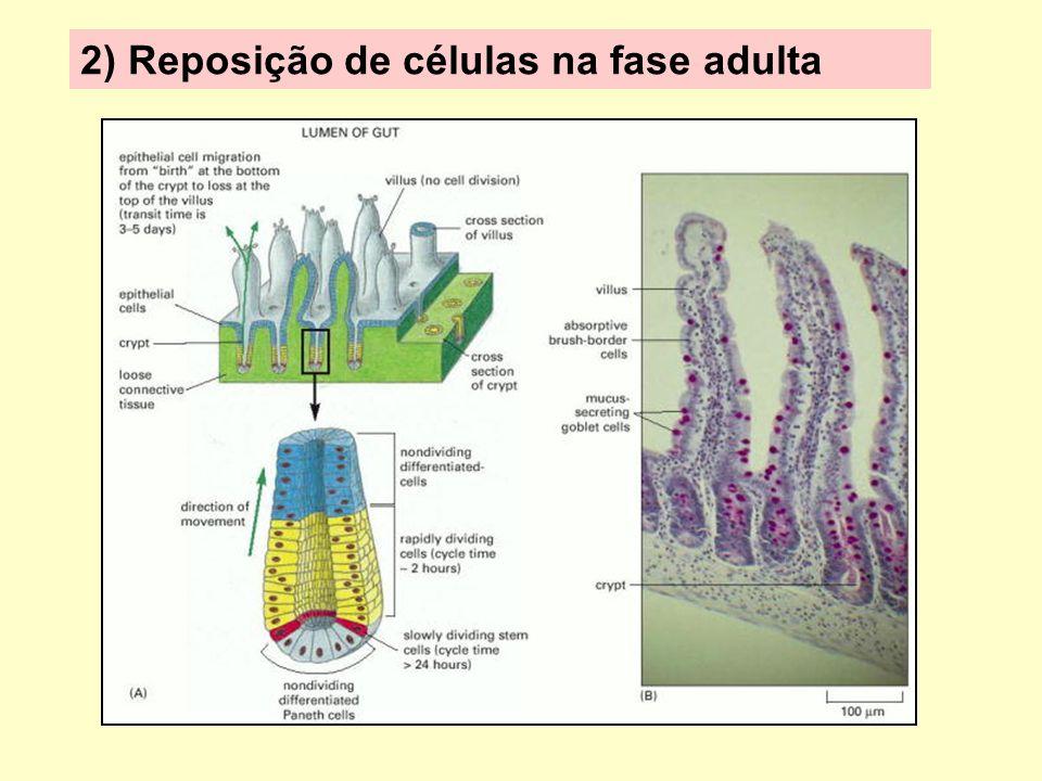 2) Reposição de células na fase adulta