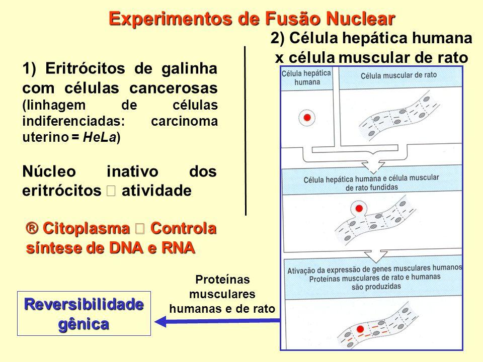 1) Eritrócitos de galinha com células cancerosas (linhagem de células indiferenciadas: carcinoma uterino = HeLa) Núcleo inativo dos eritrócitos ativid