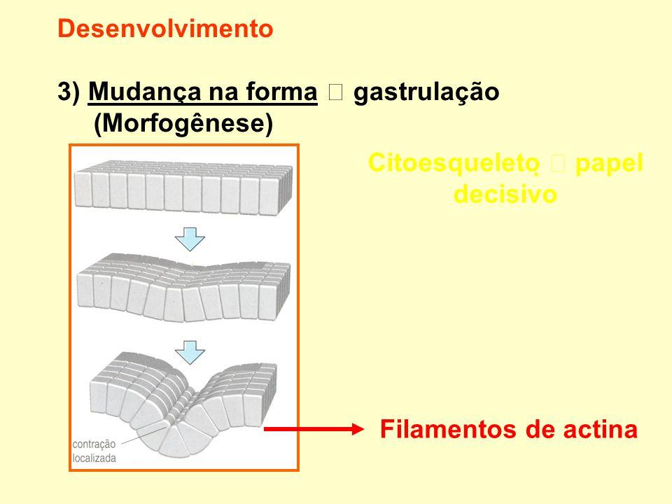 Desenvolvimento 3) Mudança na forma gastrulação (Morfogênese) Citoesqueleto papel decisivo Filamentos de actina