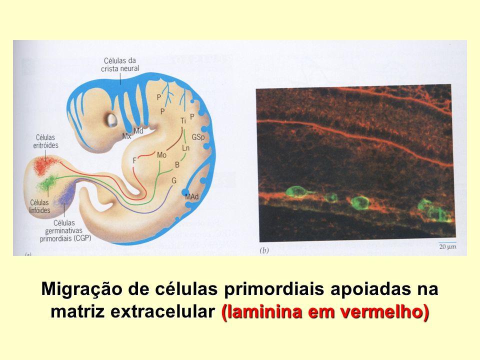 Migração de células primordiais apoiadas na matriz extracelular (laminina em vermelho)
