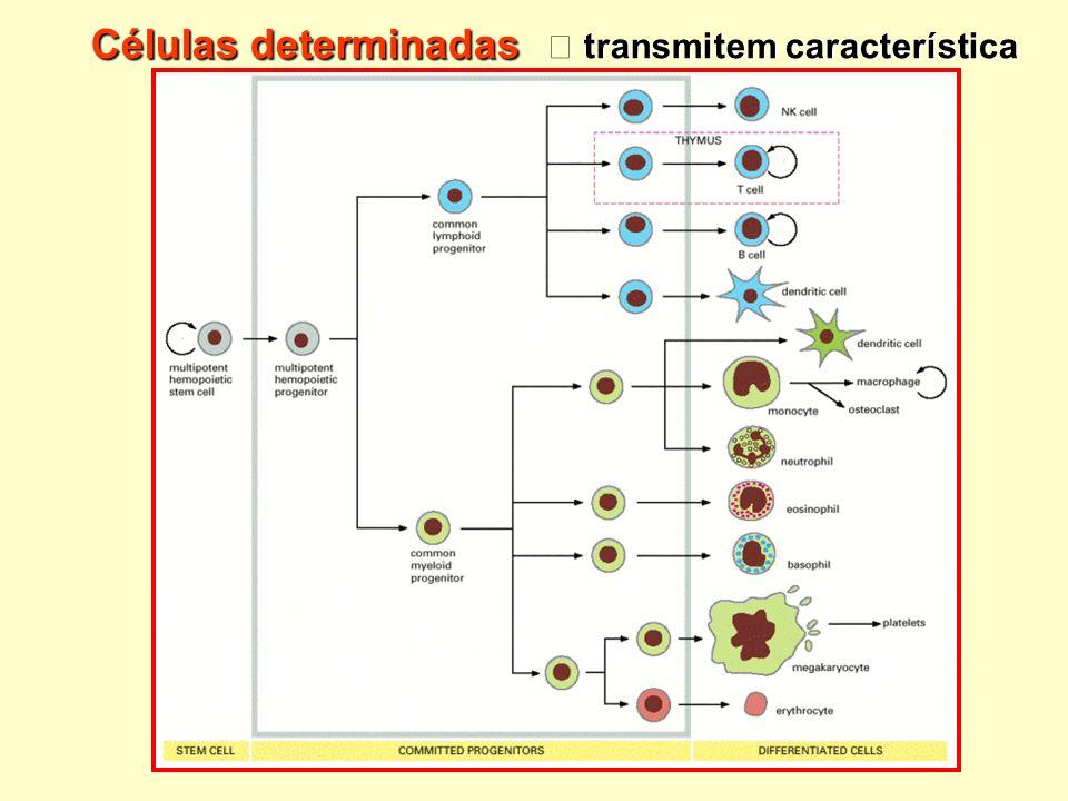 Células determinadas transmitem característica