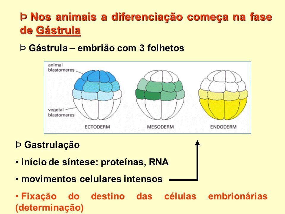 Þ Nos animais a diferenciação começa na fase de Gástrula Þ Þ Gástrula – embrião com 3 folhetos Þ Þ Gastrulação início de síntese: proteínas, RNA movim