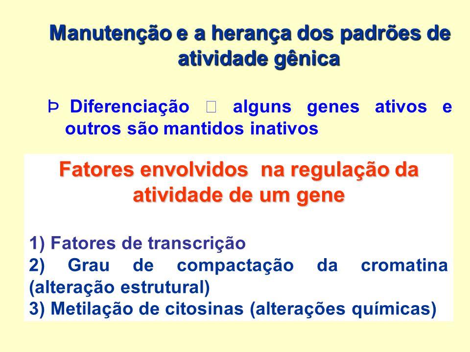 Manutenção e a herança dos padrões de atividade gênica Þ Þ Diferenciação alguns genes ativos e outros são mantidos inativos Fatores envolvidos na regu