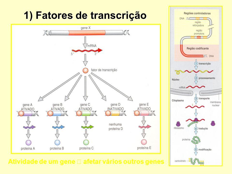 1) Fatores de transcrição Atividade de um gene afetar vários outros genes
