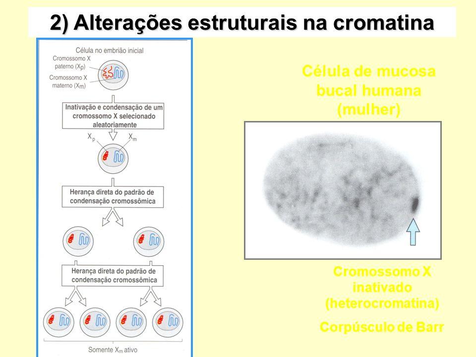 2) Alterações estruturais na cromatina Cromossomo X inativado (heterocromatina) Corpúsculo de Barr Célula de mucosa bucal humana (mulher)