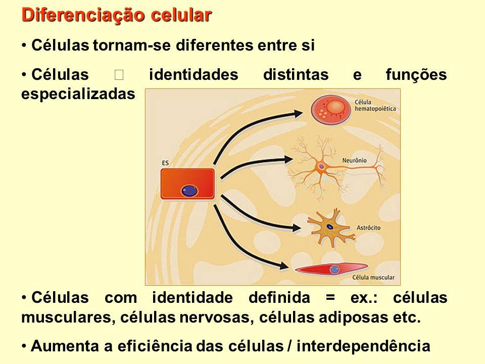 Diferenciação celular Células tornam-se diferentes entre si Células identidades distintas e funções especializadas Células com identidade definida = e
