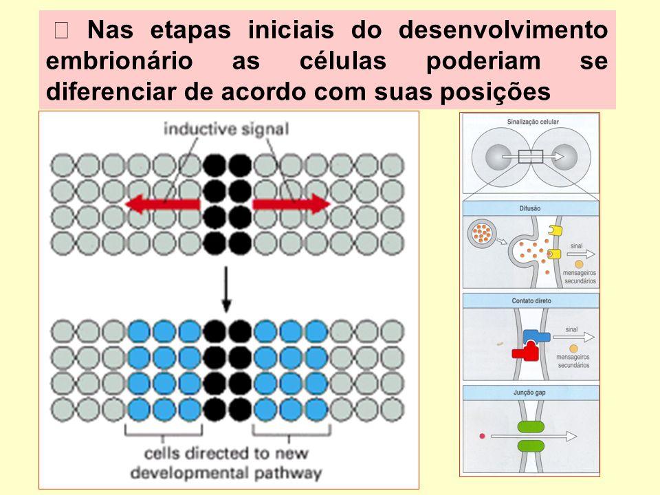 Nas etapas iniciais do desenvolvimento embrionário as células poderiam se diferenciar de acordo com suas posições