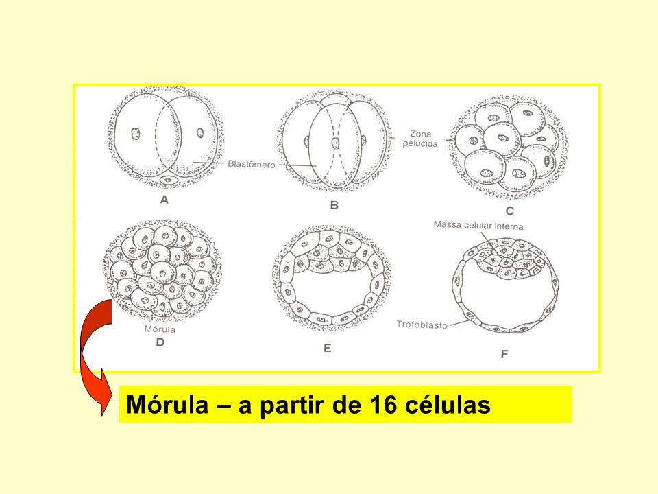 Mórula – a partir de 16 células