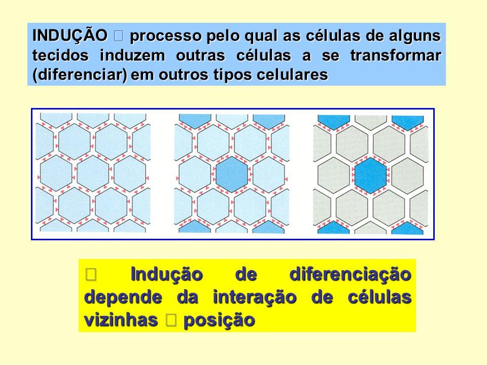 Indução de diferenciação depende da interação de células vizinhas posição Indução de diferenciação depende da interação de células vizinhas posição IN