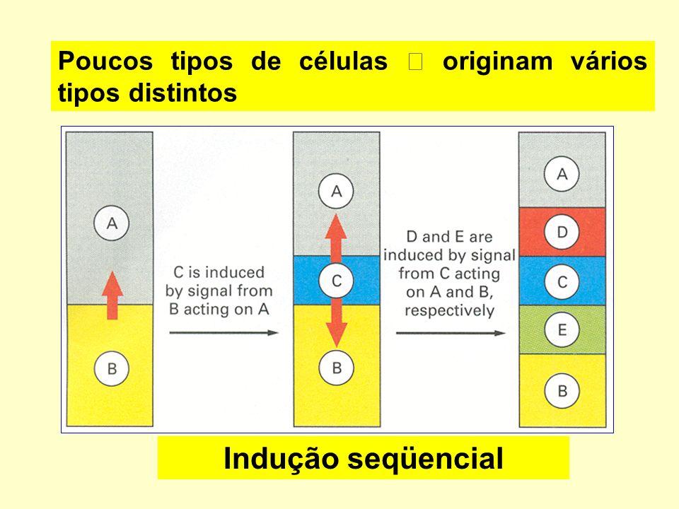 Indução seqüencial Poucos tipos de células originam vários tipos distintos